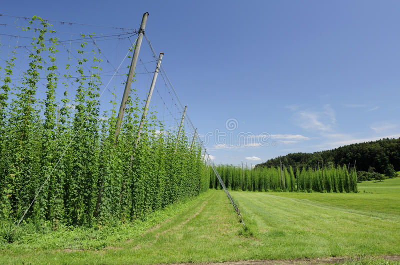 Hops plantation #2, baden royalty free stock photos