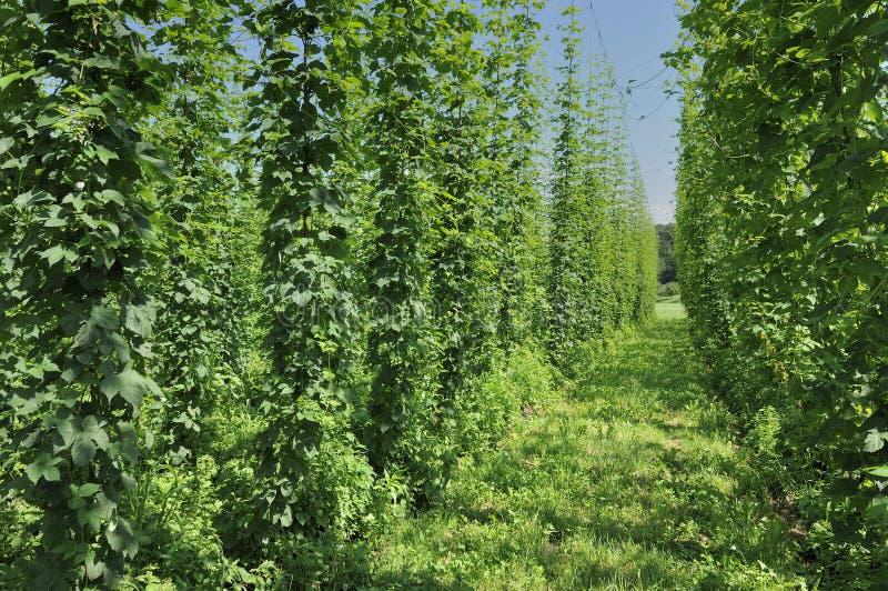 Download Hops plantation #4, baden stock photo. Image of natural - 20431566