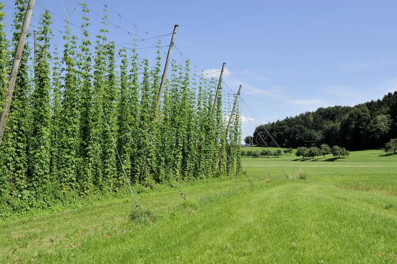 Download Hops plantation #6, baden stock image. Image of plants - 20431687