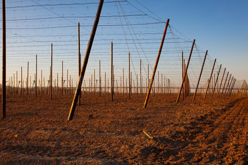 The hops plantation in the spring at sunset stock photography