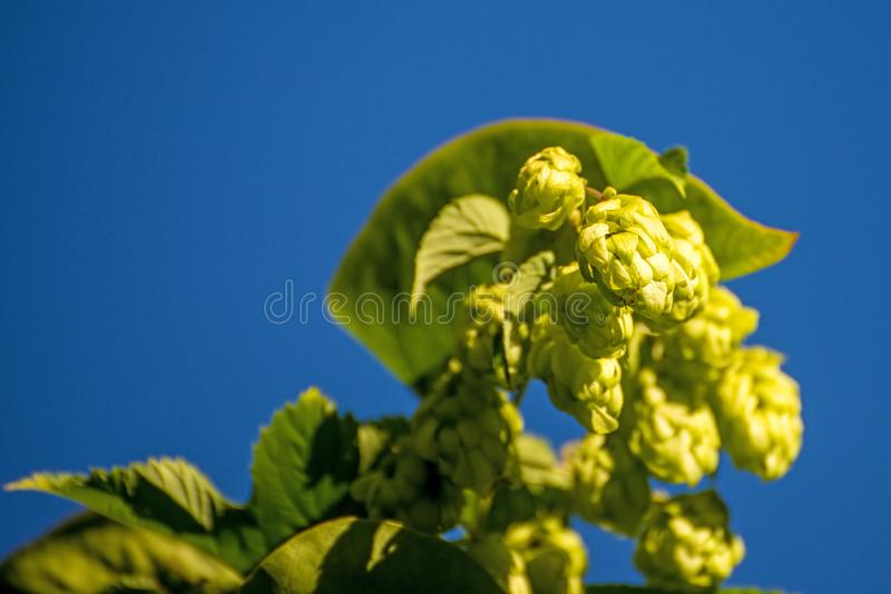 Hops with ripe cones in summer royalty free stock photos