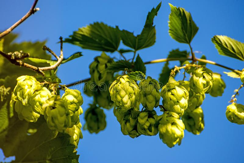 Hops with ripe cones in summer royalty free stock images