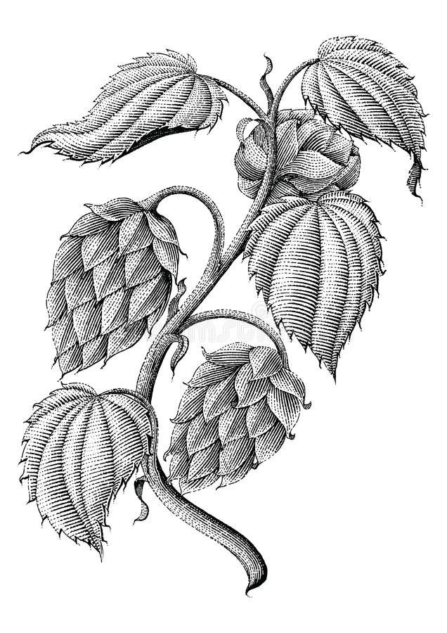 Hops vintage drawing by ink isolated on white background. Hops vintage hand drawing by ink isolated on white background stock illustration