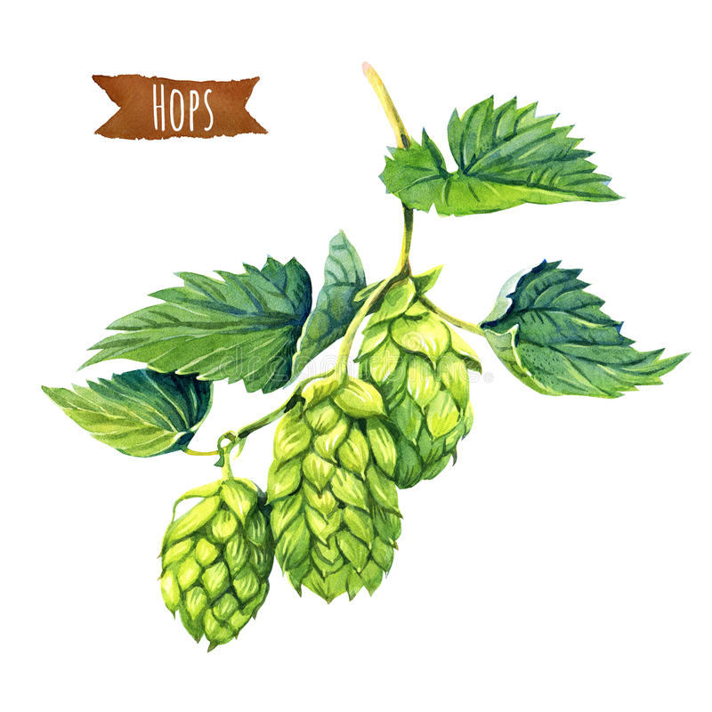 Hops on white, hand-painted watercolour illustration. Watercolor illustration of hops vine on white background with clipping path included stock illustration