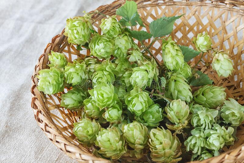 Hops in a wooden basket royalty free stock image