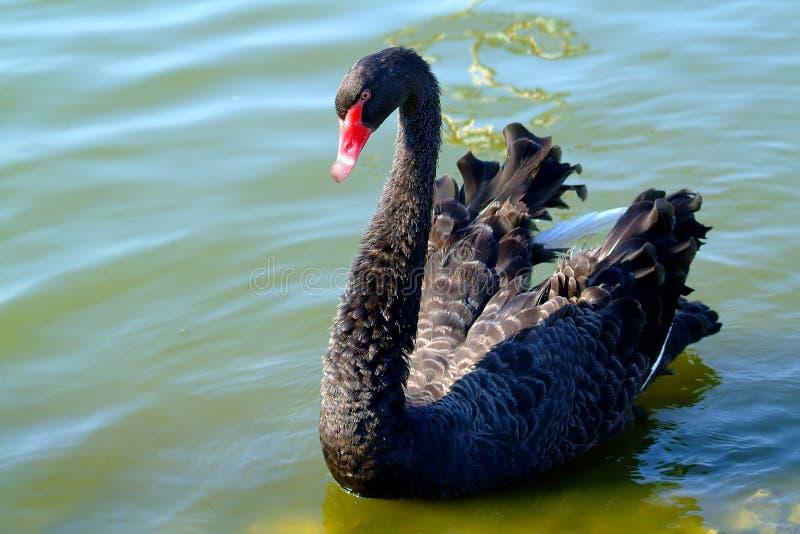 Hora calma para a cisne preta foto de stock