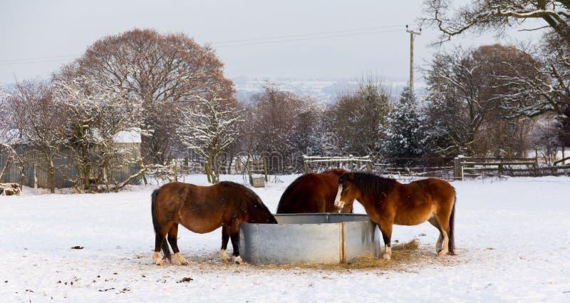 Hora de la comida en los día-caballos de los inviernos que comen el heno fotos de archivo
