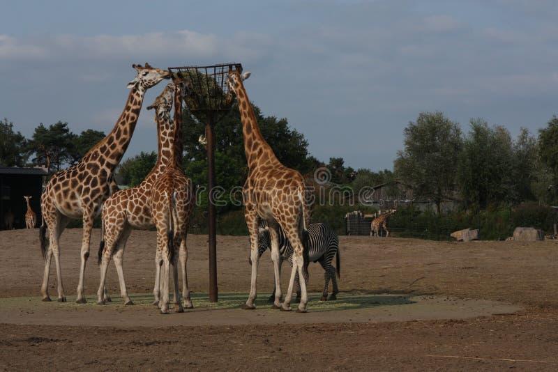 Hora de la comida para las jirafas imagenes de archivo