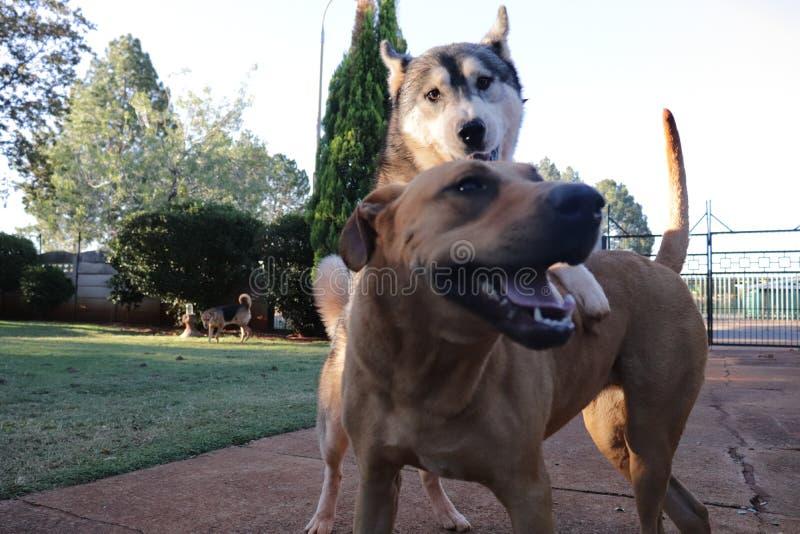 Hora del recreo del perro con Husky On Top Of Ridgeback imágenes de archivo libres de regalías