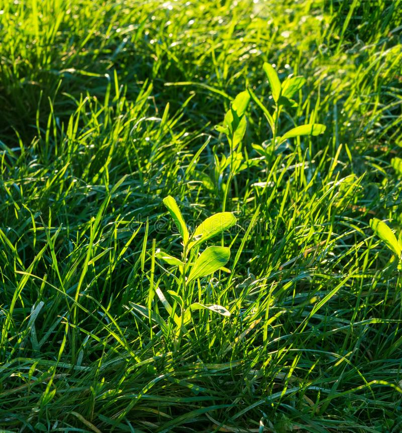 Hora dourada da grama verde fotos de stock