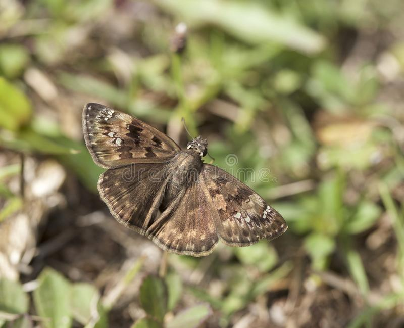 Horace`s Duskywing butterfly in Georgia stock photos