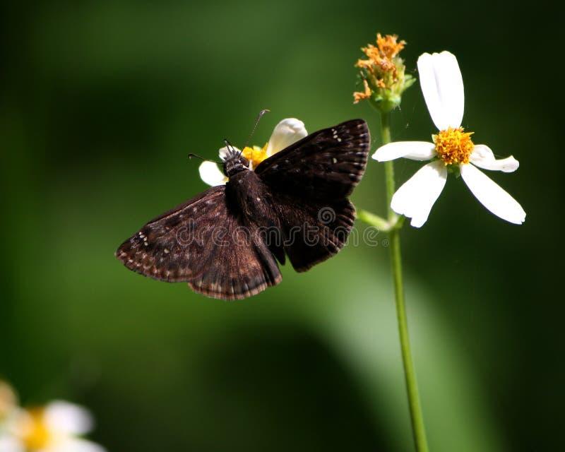 Horace& x27; s Duskywing motyl Zapyla Hiszpańskich igieł kwiaty zdjęcie royalty free
