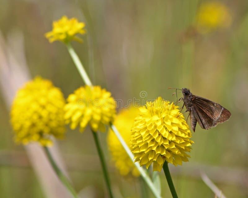 Horace& x27; s Duskywing Pollenating Żółty Milkwort zdjęcia stock