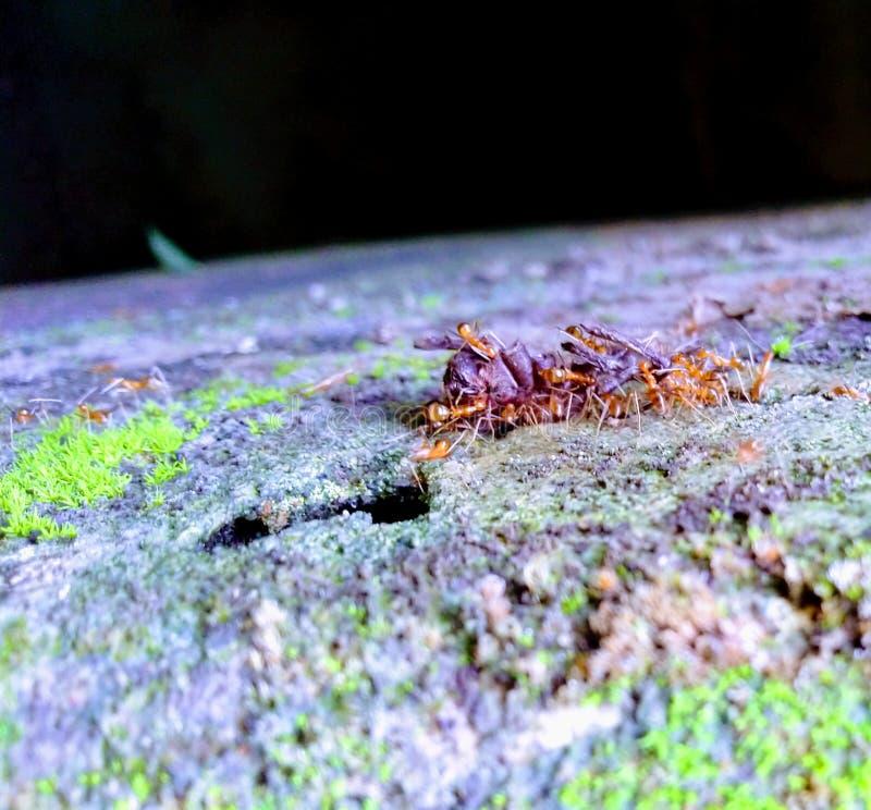 Horden av röda myror lamslår elakartade kryp royaltyfri fotografi