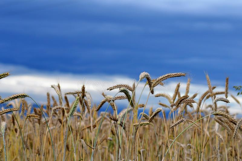 Field of grains in a angry sky royalty free stock photo