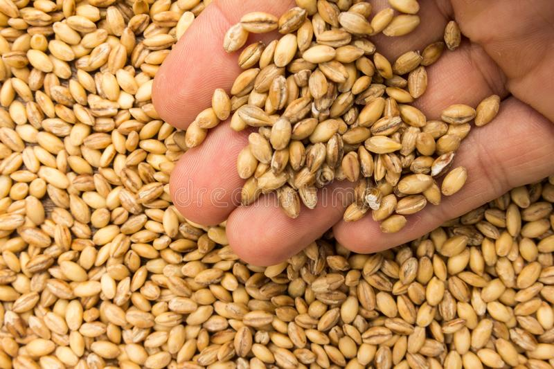 Barley cereal grain. Person with grains in hand. Macro. Whole food. stock image