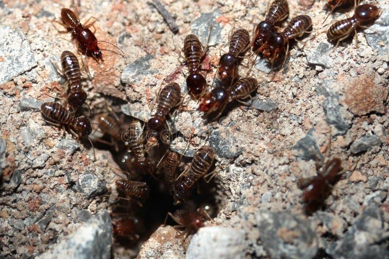 Hordy termity lub białe mrówki wchodzić do w ziemię zdjęcie royalty free