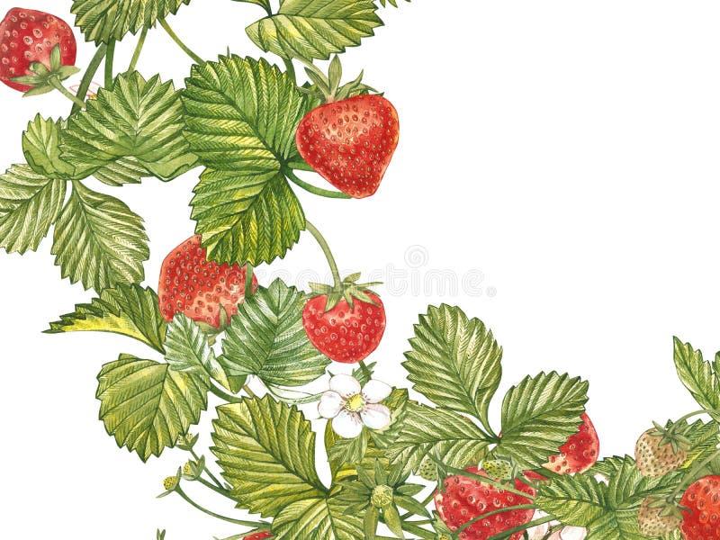 Horisontalbaner med den mogna röda bärjordgubben på vit bakgrund Planlägg för att förpacka, naturliga skönhetsmedel, hälsa vektor illustrationer