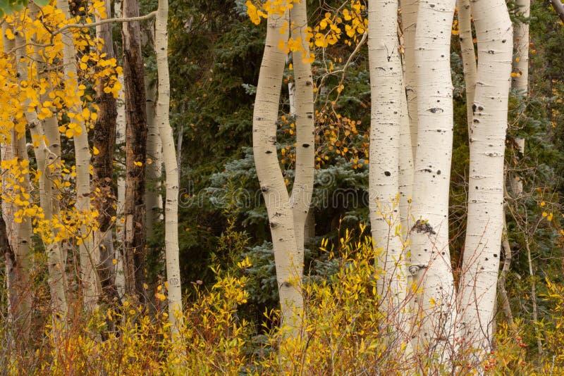 Horisontalbild av ljusa gula aspsidor och buskar med spensliga vita trädstammar och mörkret - gräsplan av prydliga träd royaltyfri bild