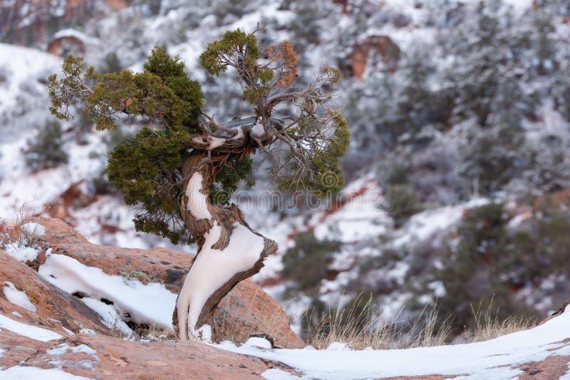 Horisontalbilden av en snö täckte det vind vridna enträdet som överst växer av en stenblock för röd sandsten royaltyfri bild