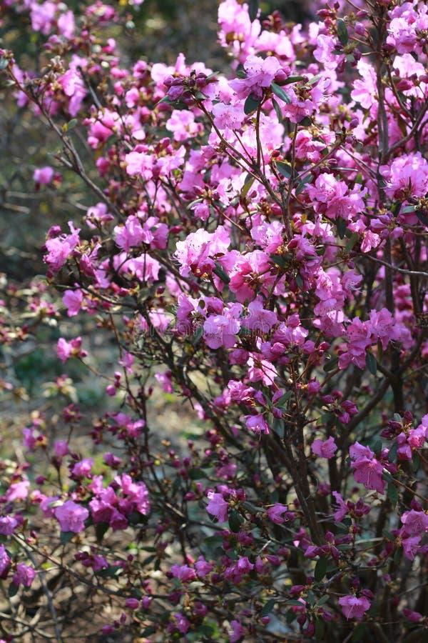 Horisontalnärbild på ett härligt träd med rosa blommor som blomstrade royaltyfria bilder