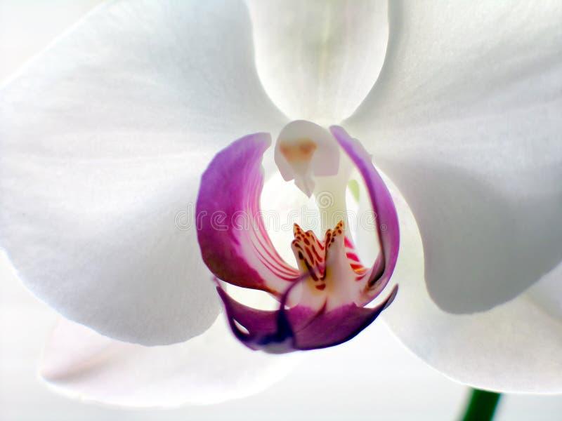 Horisontalorchidphalaenopsis Arkivbilder