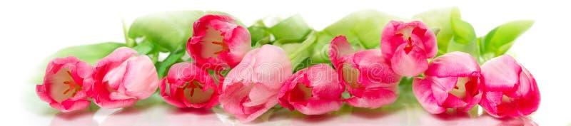 Horisontalpanorama med rosa tulpan royaltyfri fotografi