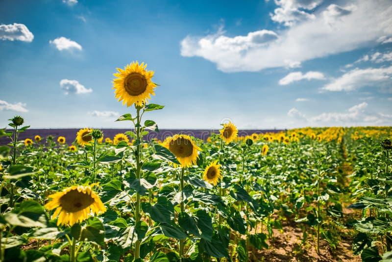 Horisontellt solrosskott och engelskt lavendelfält med bakgrunden av luftrör arkivfoto
