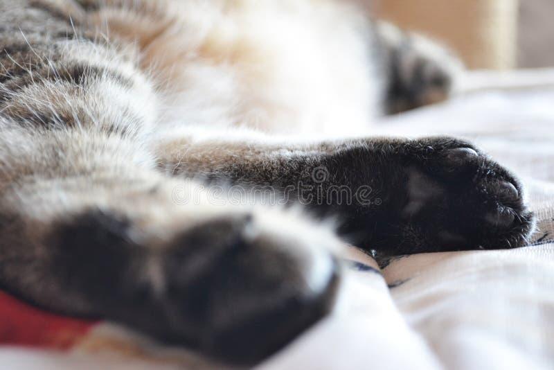 Horisontellt tafsar fotoet av hinden av en sova brittisk Shorthair katt royaltyfri fotografi