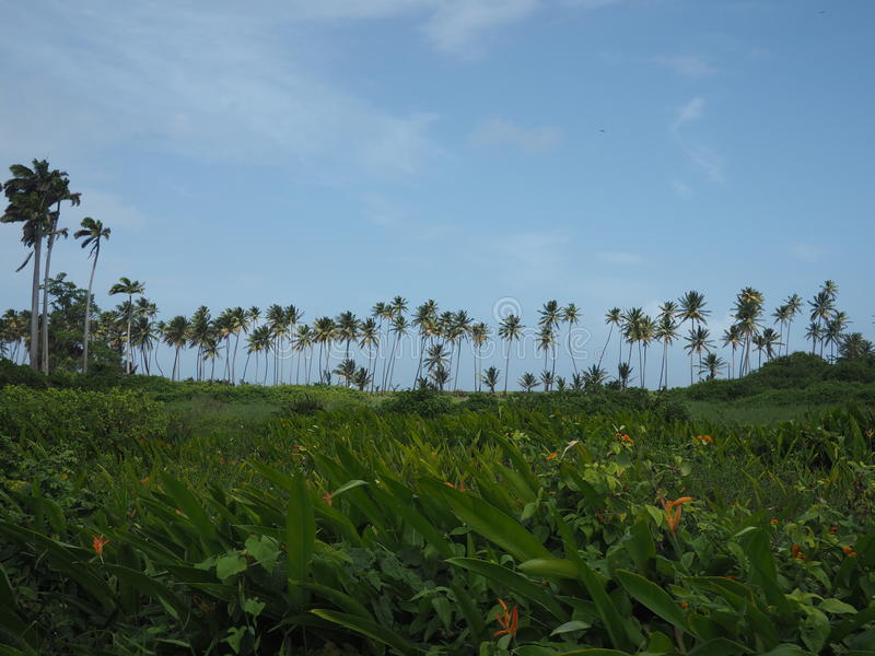 Horizon of Coconut Palm Trees On the Background of Blue Skies royalty free stock photography