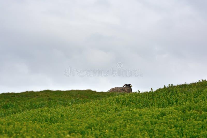 Horizont με τα πρόβατα στοκ εικόνα