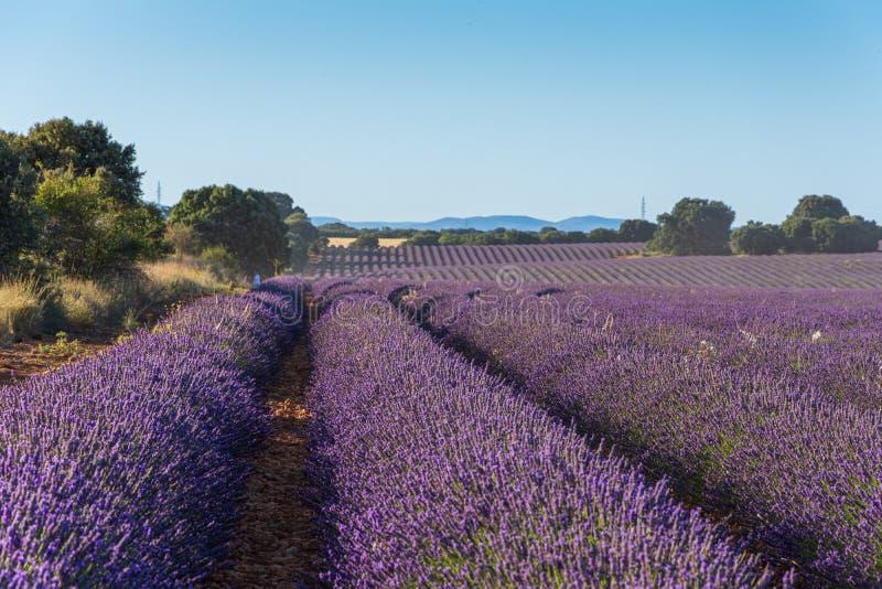 Horizontaal algemeen schot van een lavendelgebied bij zonsondergang royalty-vrije stock afbeeldingen