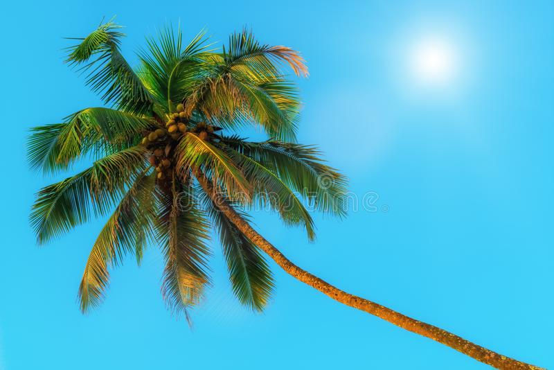 Horizontaal schot - groene kokospalmen en zon stock fotografie