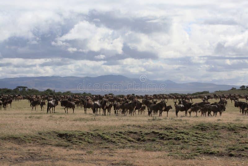 Horizontal africain avec le troupeau de wildebeest images stock