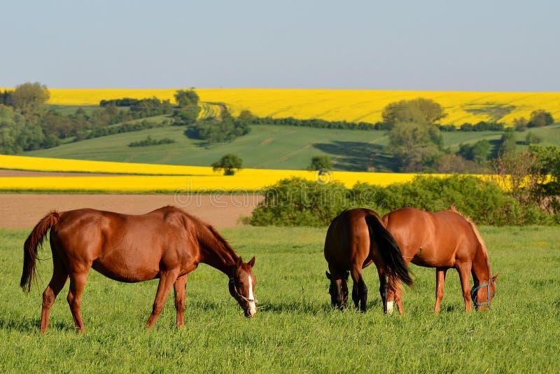 Horizontal avec des chevaux image stock