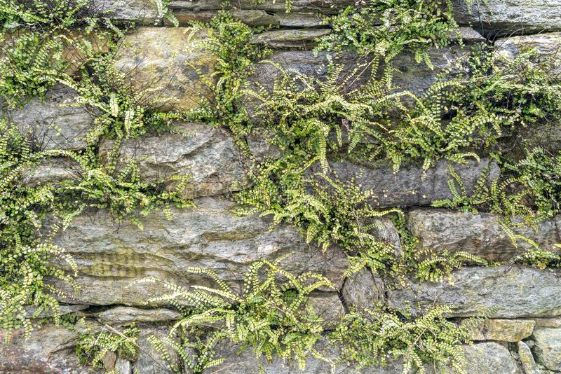 Horizontal background of an old stone and rock wall with moss and fern growing out of it stock photography