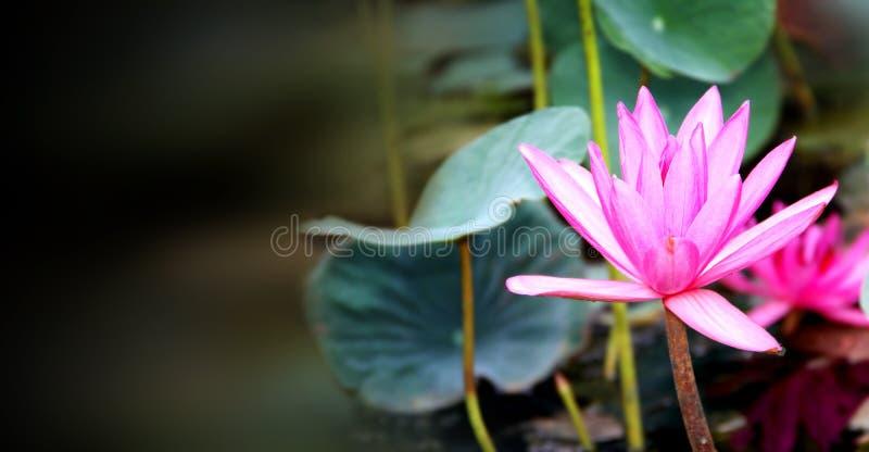 Horizontal Banner With Beautiful Pink Lotus Flower Stock Image ...