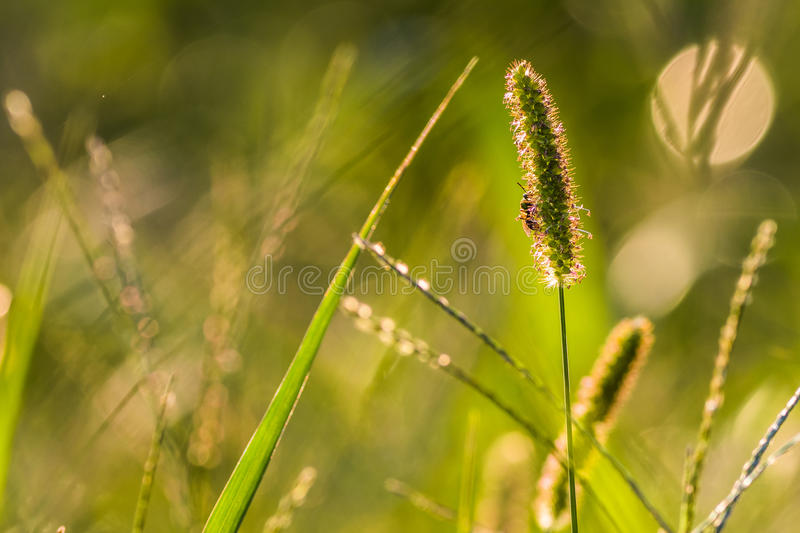 Horizontal Bee on Grass royalty free stock images