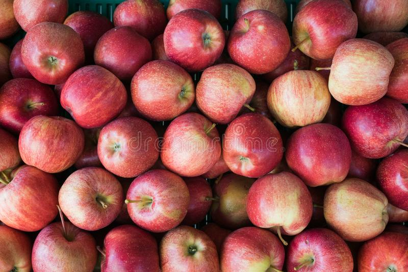 Horizontal close up of a crate of red and golden organic apples stock images
