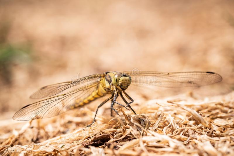 Big yellow draginfly is perched on ground in dry grass royalty free stock photo