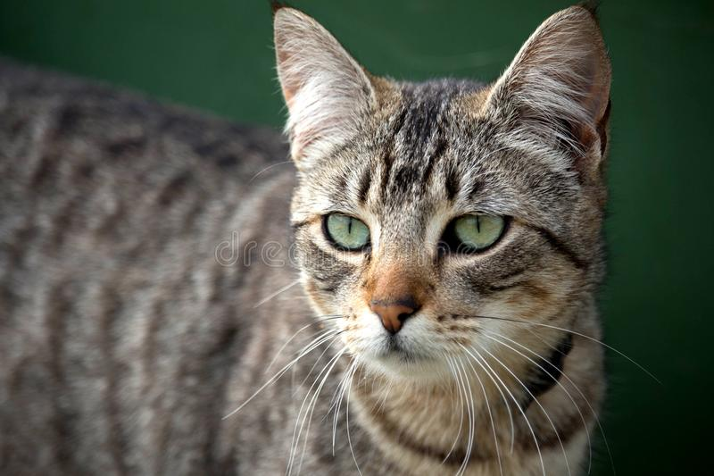 Close up of nonchalant grey tabby cat stock images