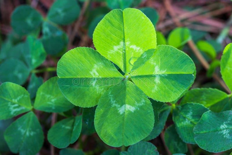 Backlit four leaf clover royalty free stock photo