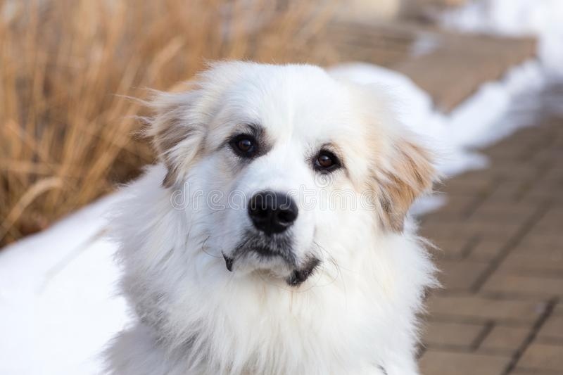 Horizontal closeup of gorgeous Pyrenean Mountain Dog staring intently stock photo