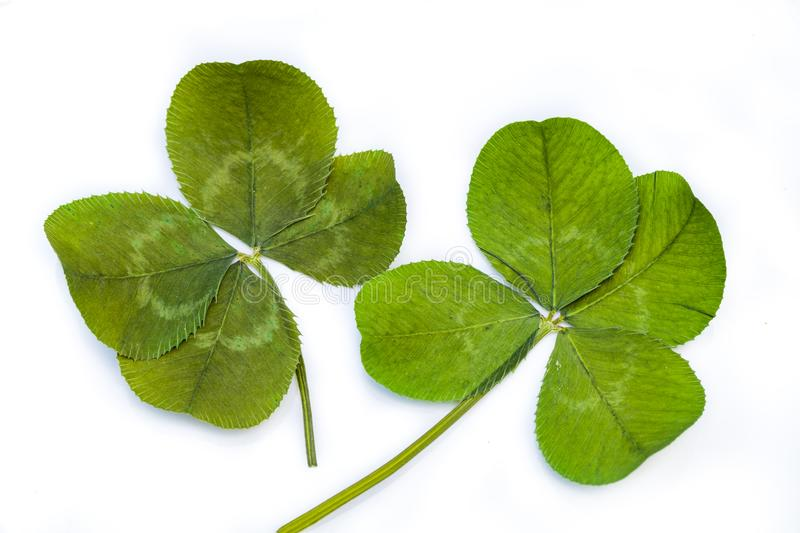 Two Four-Leaf Clovers royalty free stock image