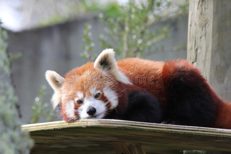 Horizontal closeup shot of an adorable red panda on a wooden table at the zoo. A horizontal closeup shot of an adorable red panda on a wooden table at the zoo royalty free stock images