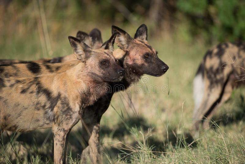 A horizontal, colour image of a pack of African wild dogs, Lycaon pictus, or painted wolves, on the hunt in the Okavango Delta, B royalty free stock photos