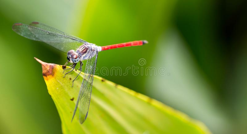horizontal cropped Colored close up of a dragon fly while resting on a leaf with very smooth green background stock image