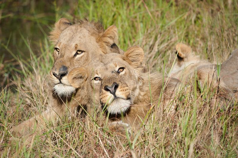 A horizontal, cropped colour photograph of two male lions, Panthera leo, resting together in front light in long green grass in t stock images