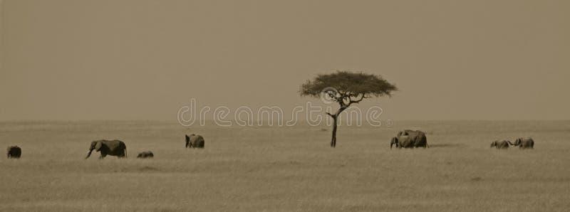 horizontal d'éléphant africain photo stock
