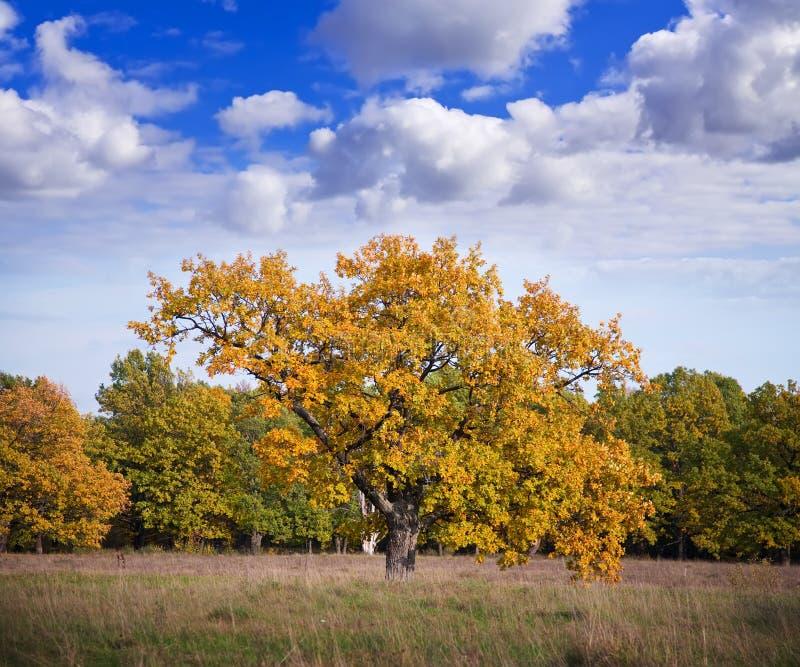 Horizontal d'automne avec le grand chêne photos libres de droits